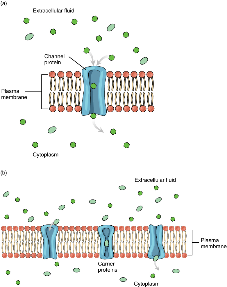 The Cell Membrane · Anatomy and Physiology