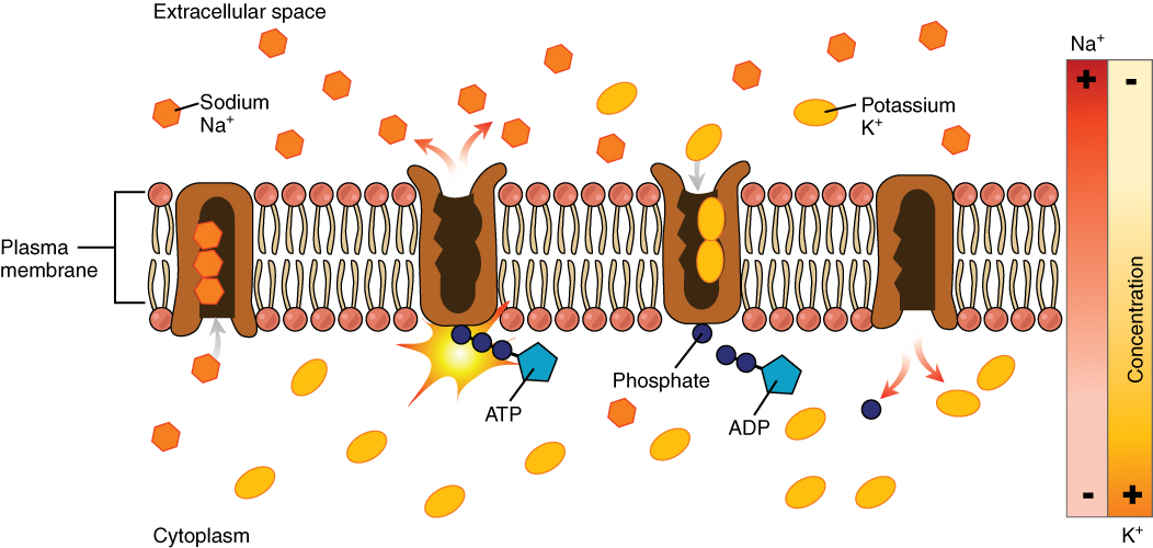 The cell membrane anatomy and physiology this diagram shows many sodium potassium pumps embedded in the membrane potassium is pumped into ccuart Choice Image