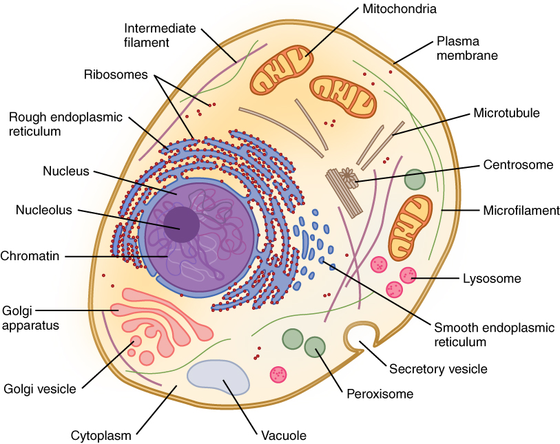 The Cytoplasm and Cellular Organelles · Anatomy and Physiology
