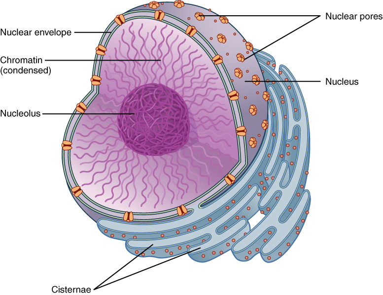 the nucleus and dna replication · anatomy and physiology, Human Body
