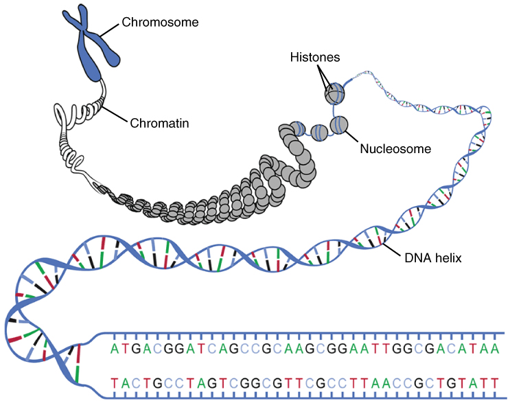 the nucleus and dna replication anatomy and physiology : chromatin diagram - findchart.co