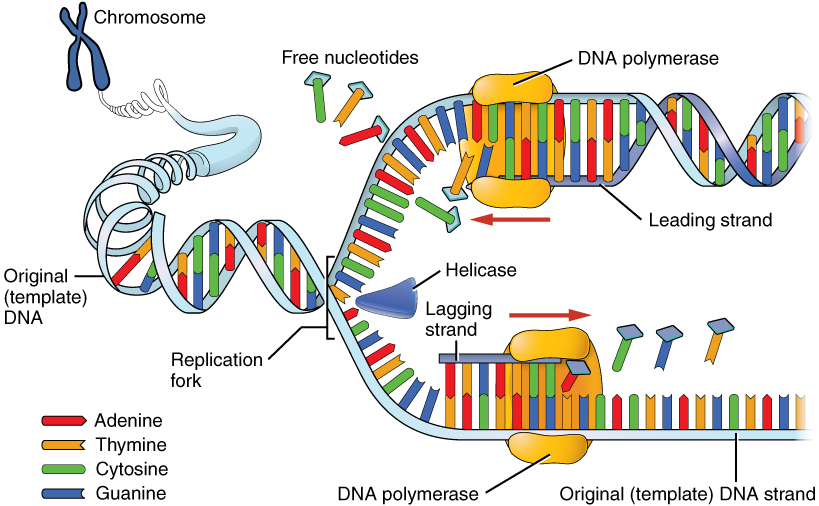 The nucleus and dna replication anatomy and physiology for Semiconservative replication involves a template what is the template