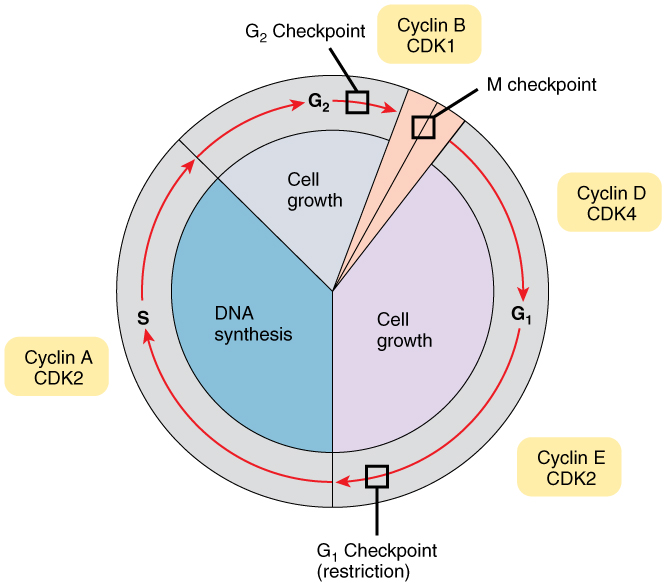 Cell Growth And Division Anatomy And Physiology