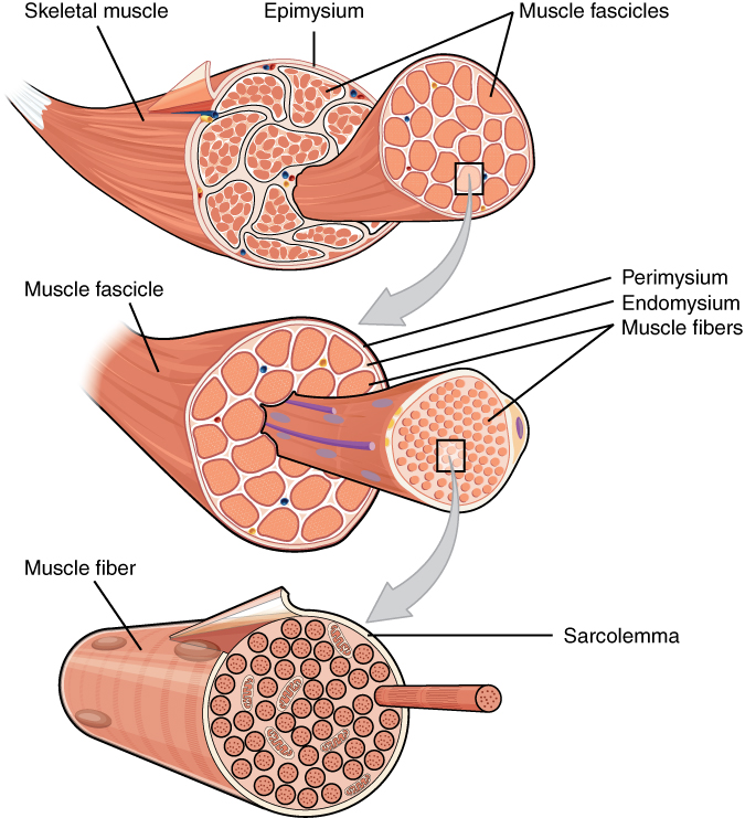 Skeletal Muscle · Anatomy and Physiology