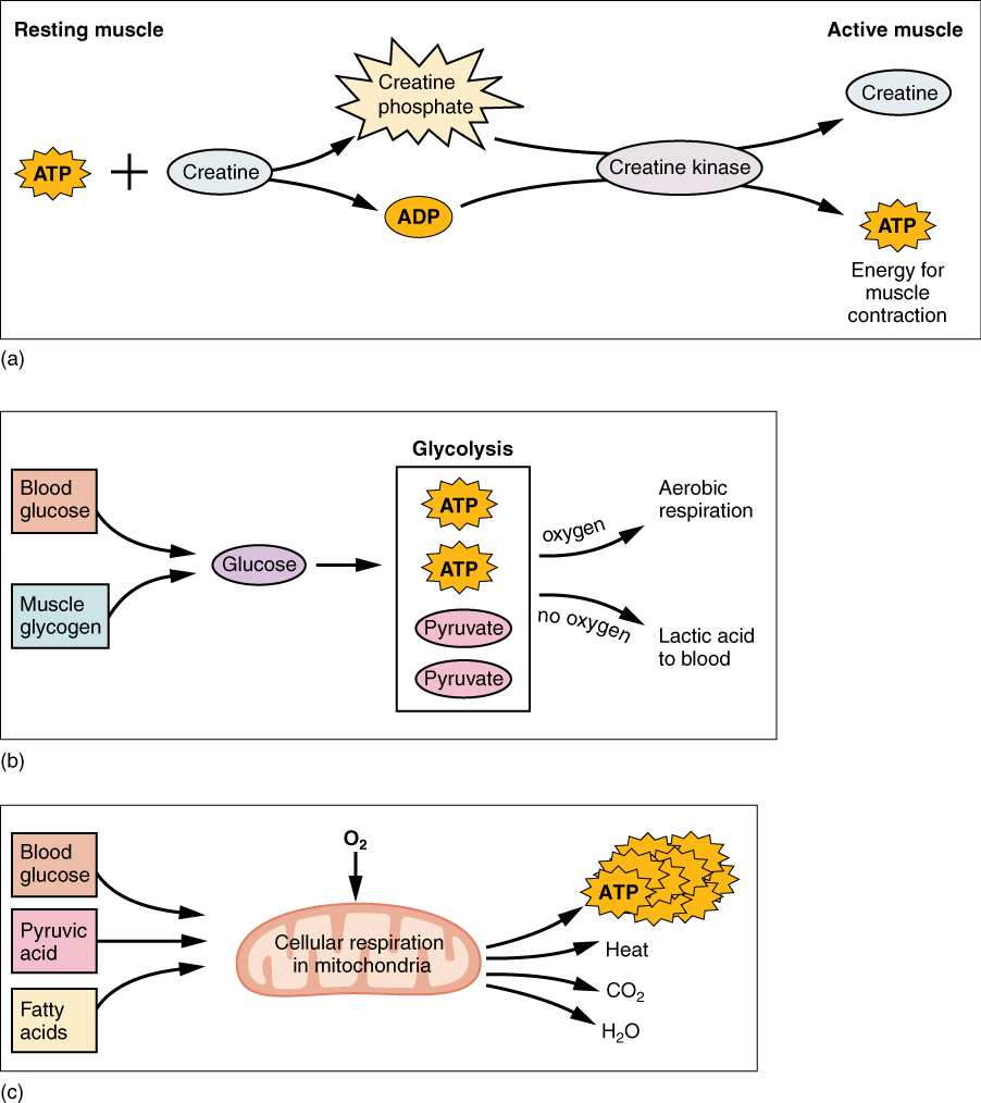 Muscle Fiber Contraction and Relaxation · Anatomy and Physiology