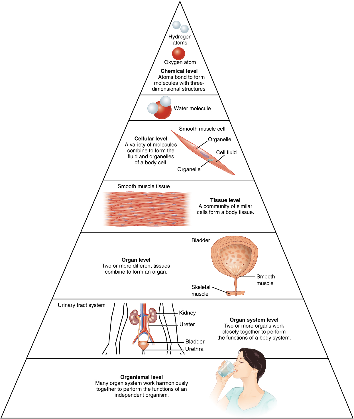 Structural Organization Of The Human Body Anatomy And Physiology