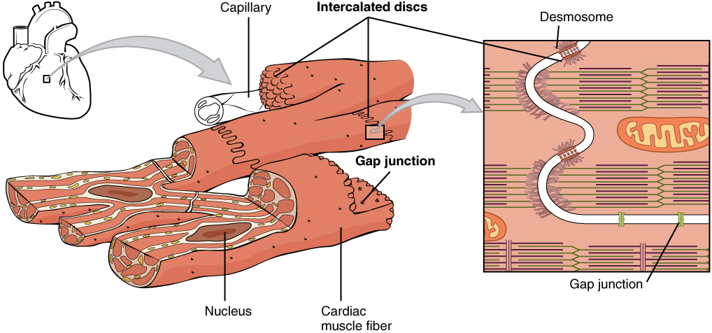 Cardiac Muscle Tissue · Anatomy and Physiology