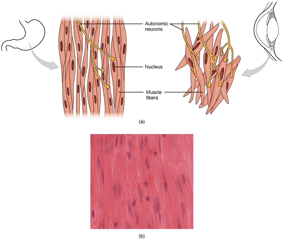 smooth muscle · anatomy and physiology, Muscles