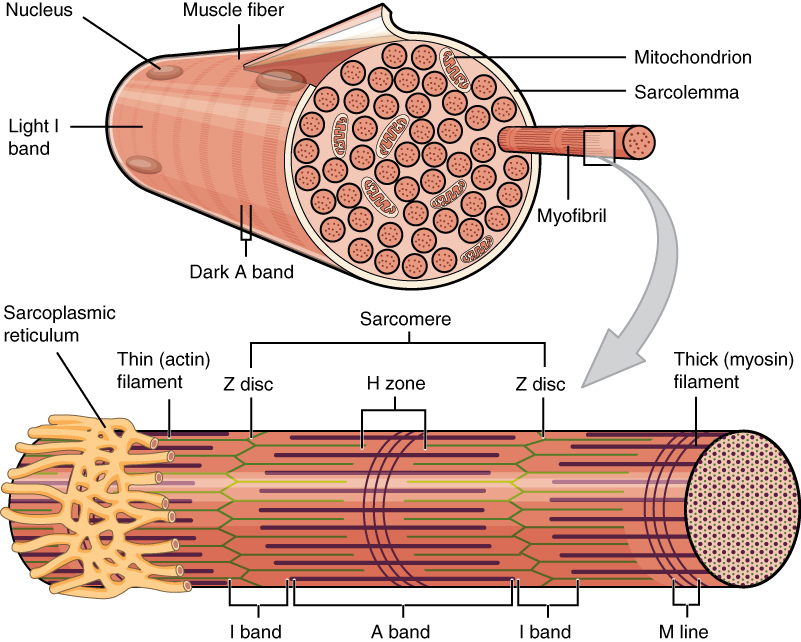 skeletal muscle · anatomy and physiology, Muscles