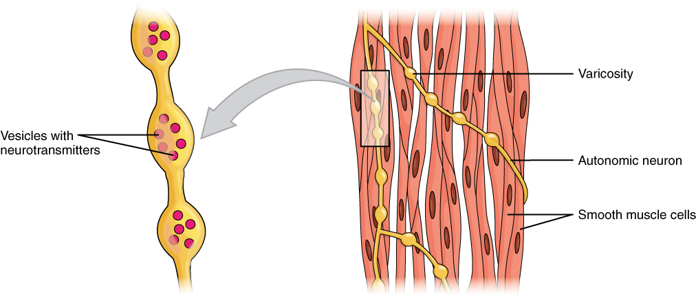 Smooth Muscle · Anatomy and Physiology