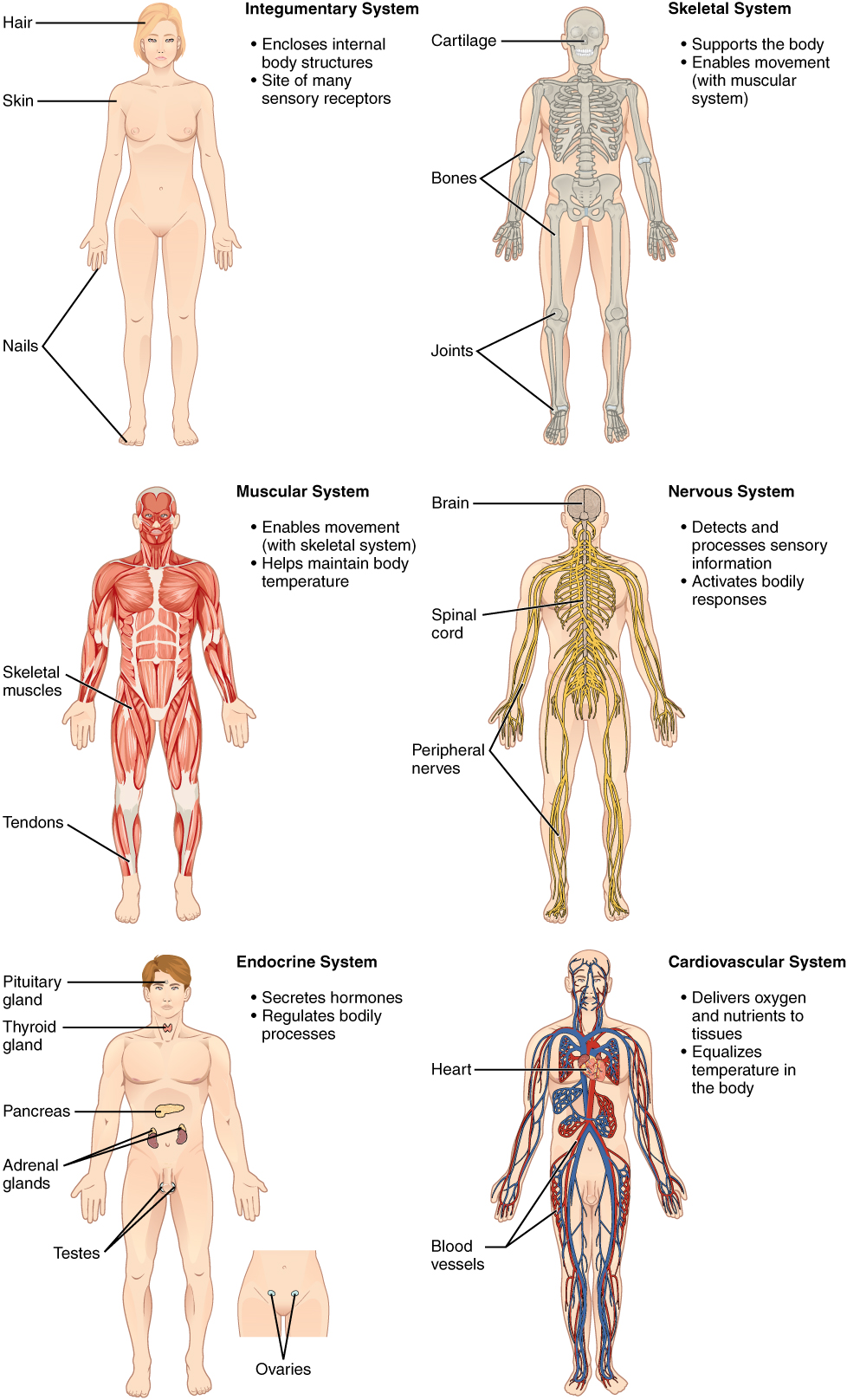 Structural Organization of the Human Body Anatomy and Physiology – Integumentary System Worksheets