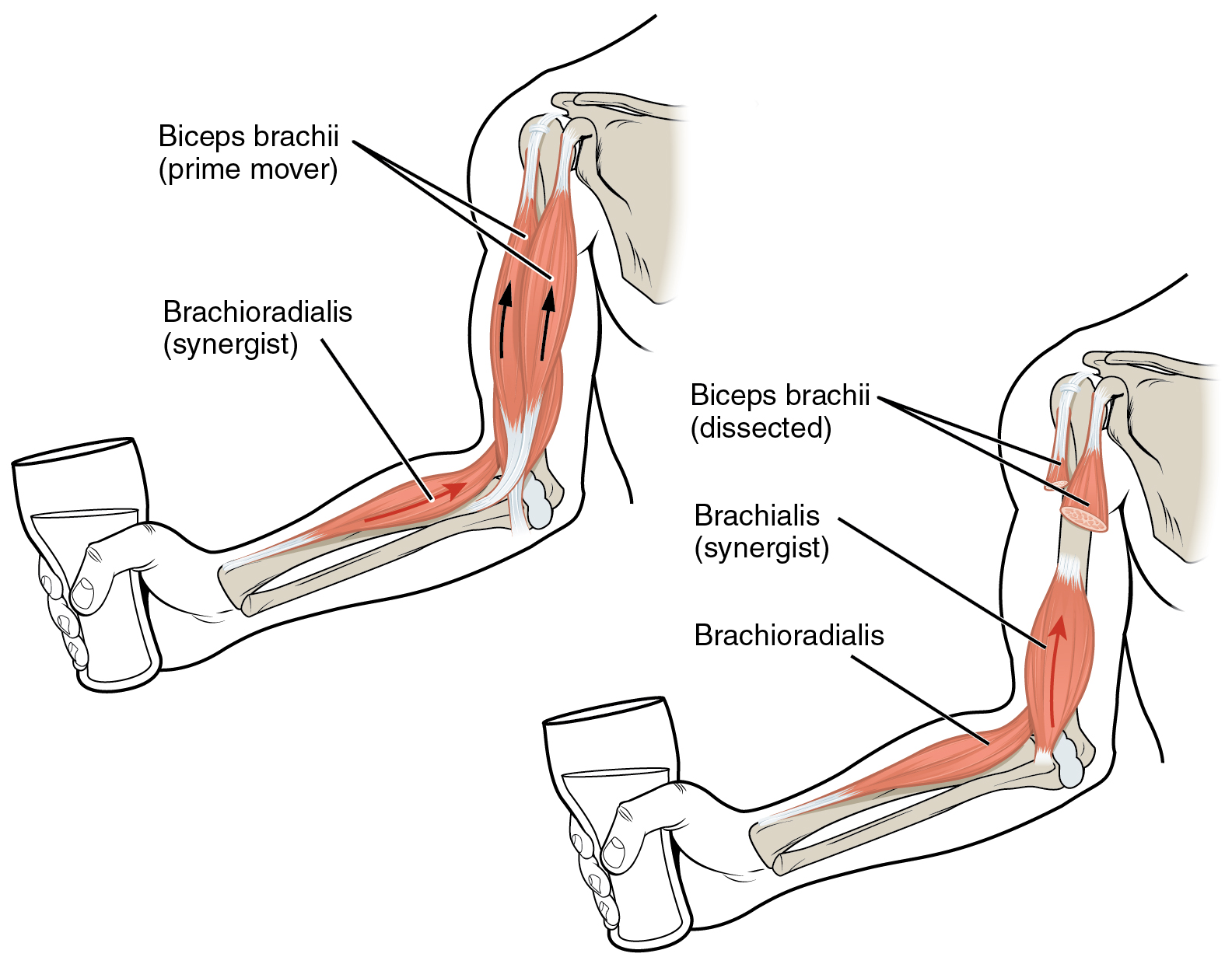 diagram shows two separate hands holding a glass of liquid  The biceps    Triceps And Biceps Diagram