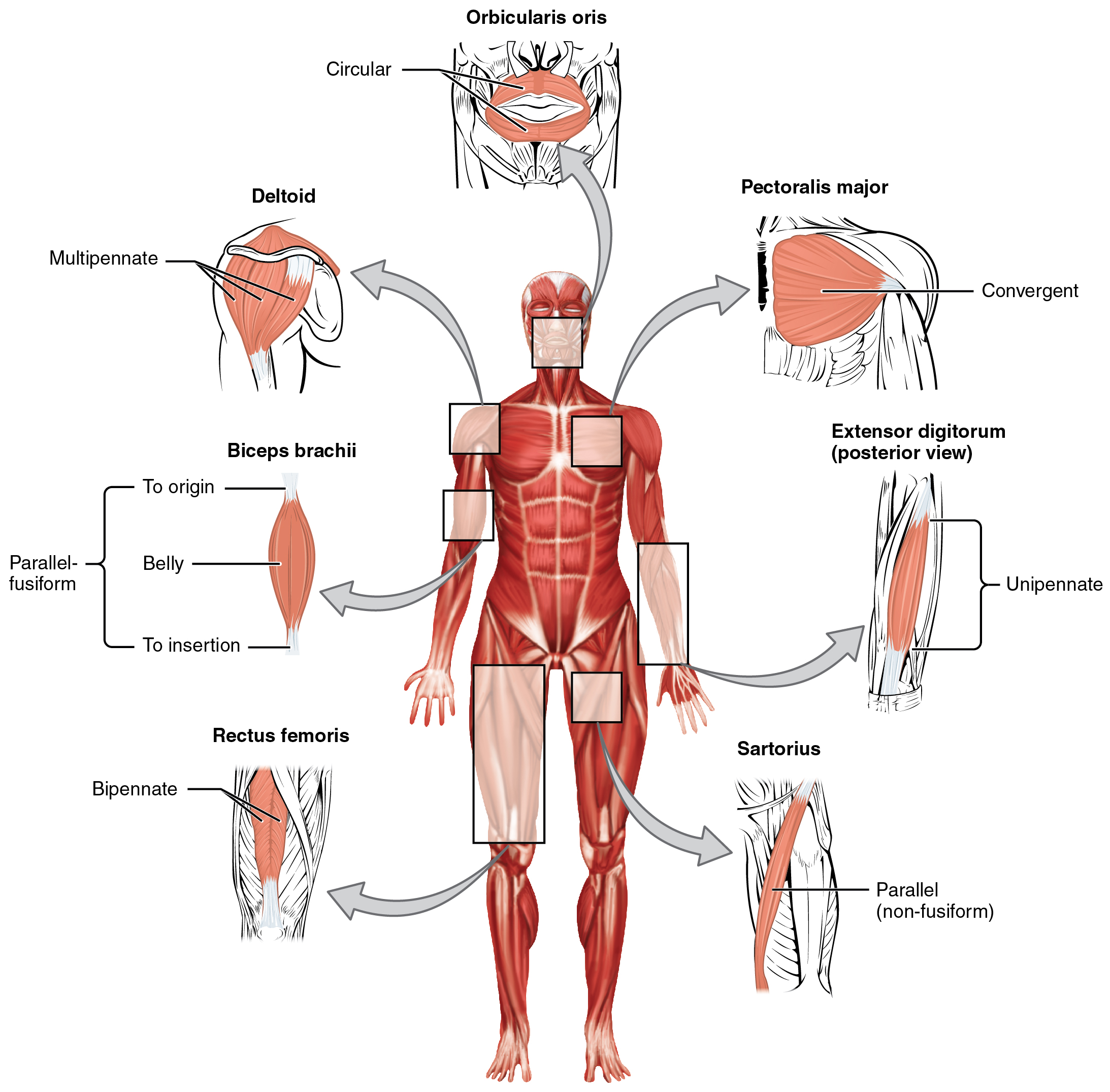 interactions of skeletal muscles, their fascicle arrangement, and, Muscles