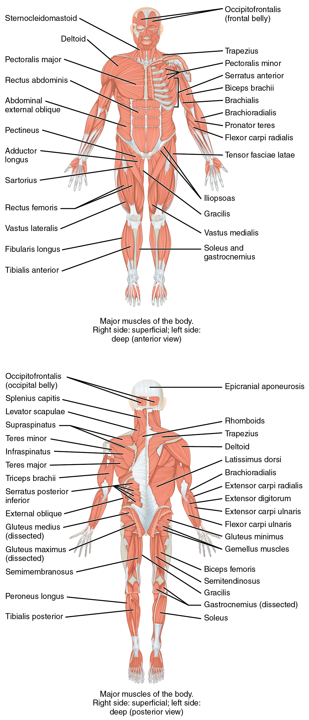 naming skeletal muscles · anatomy and physiology, Muscles