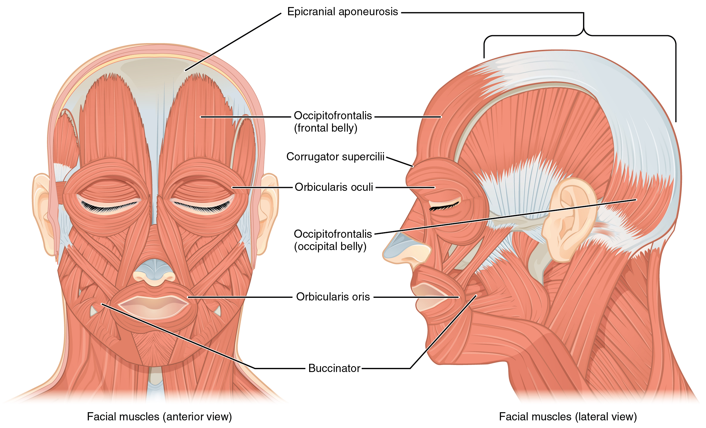 Axial Muscles of the Head, Neck, and Back · Anatomy and Physiology
