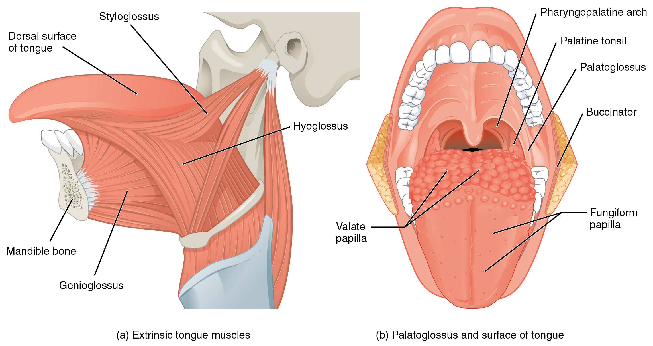Although the tongue is obviously important for tasting food  it is    Suprahyoid Muscles
