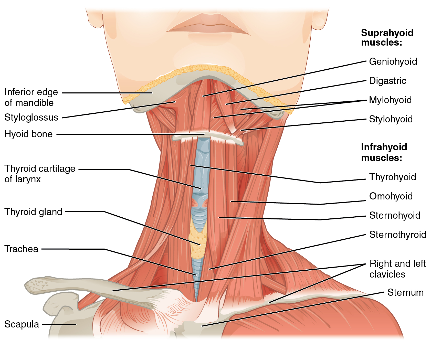 axial muscles of the head, neck, and back · anatomy and physiology, Muscles