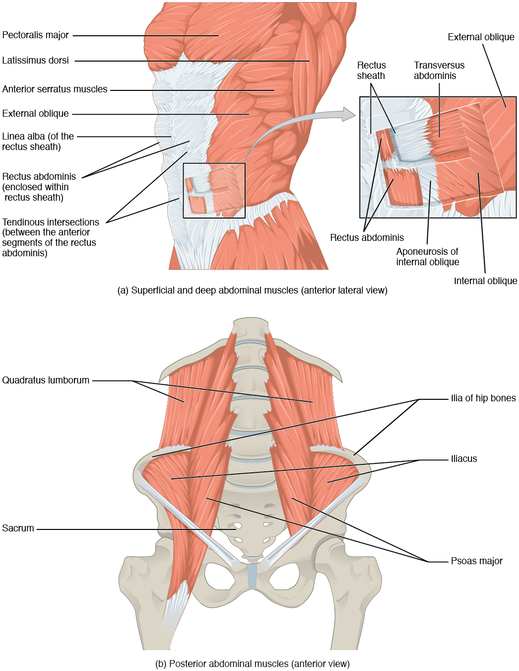 Axial Muscles Of The Abdominal Wall And Thorax Anatomy And Physiology