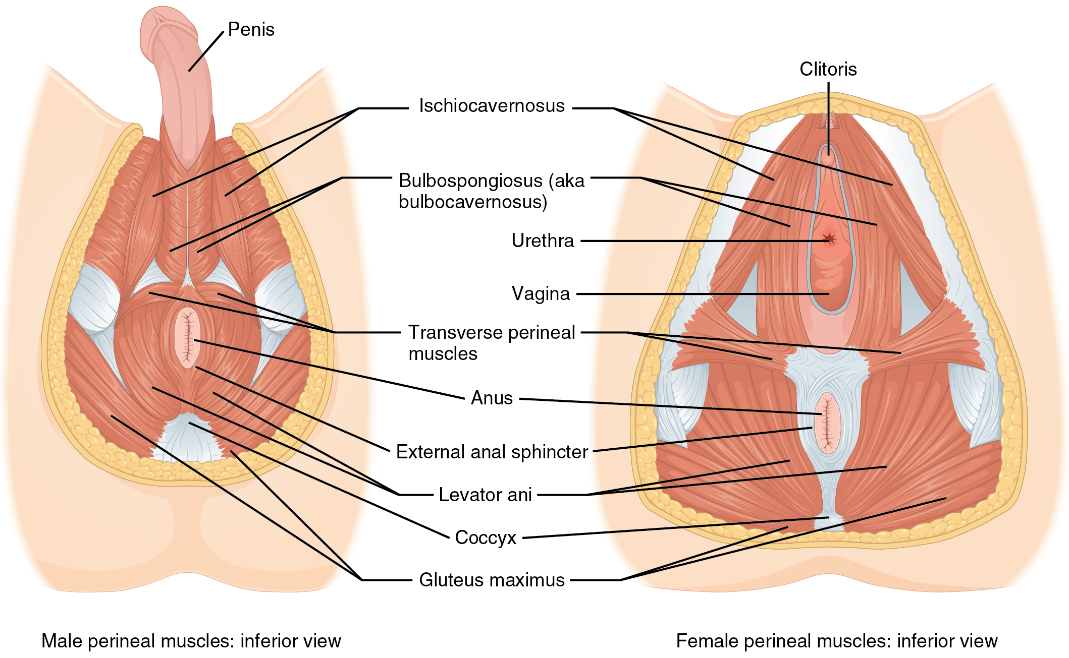 Axial Muscles of the Abdominal Wall, and Thorax · Anatomy and Physiology