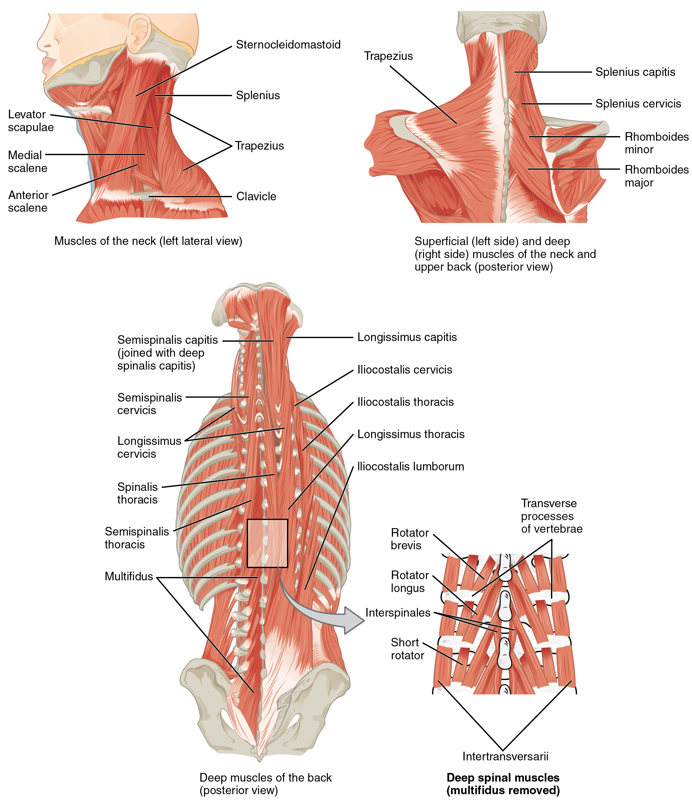 Anatomy of back bones
