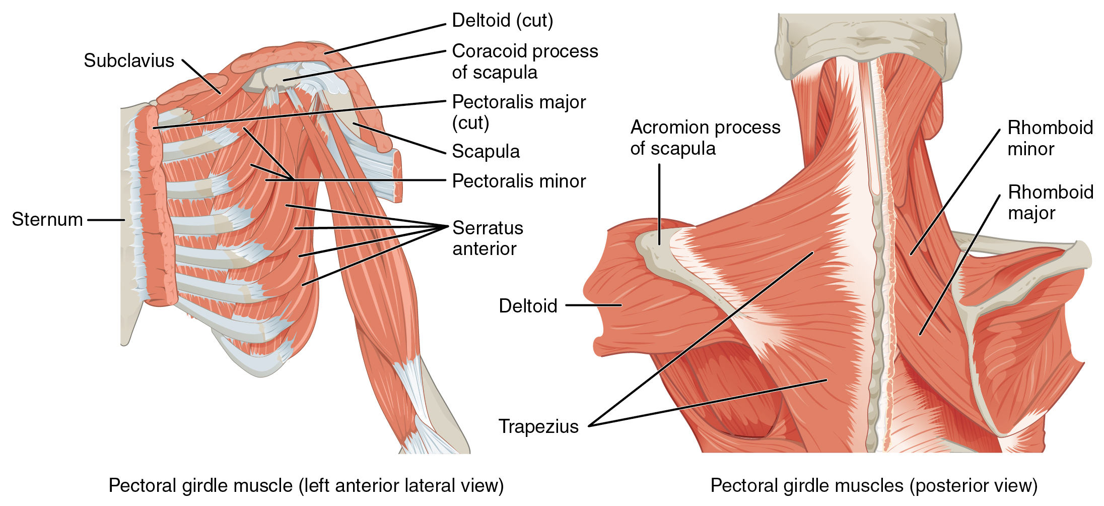 muscles of the pectoral girdle and upper limbs · anatomy and, Muscles