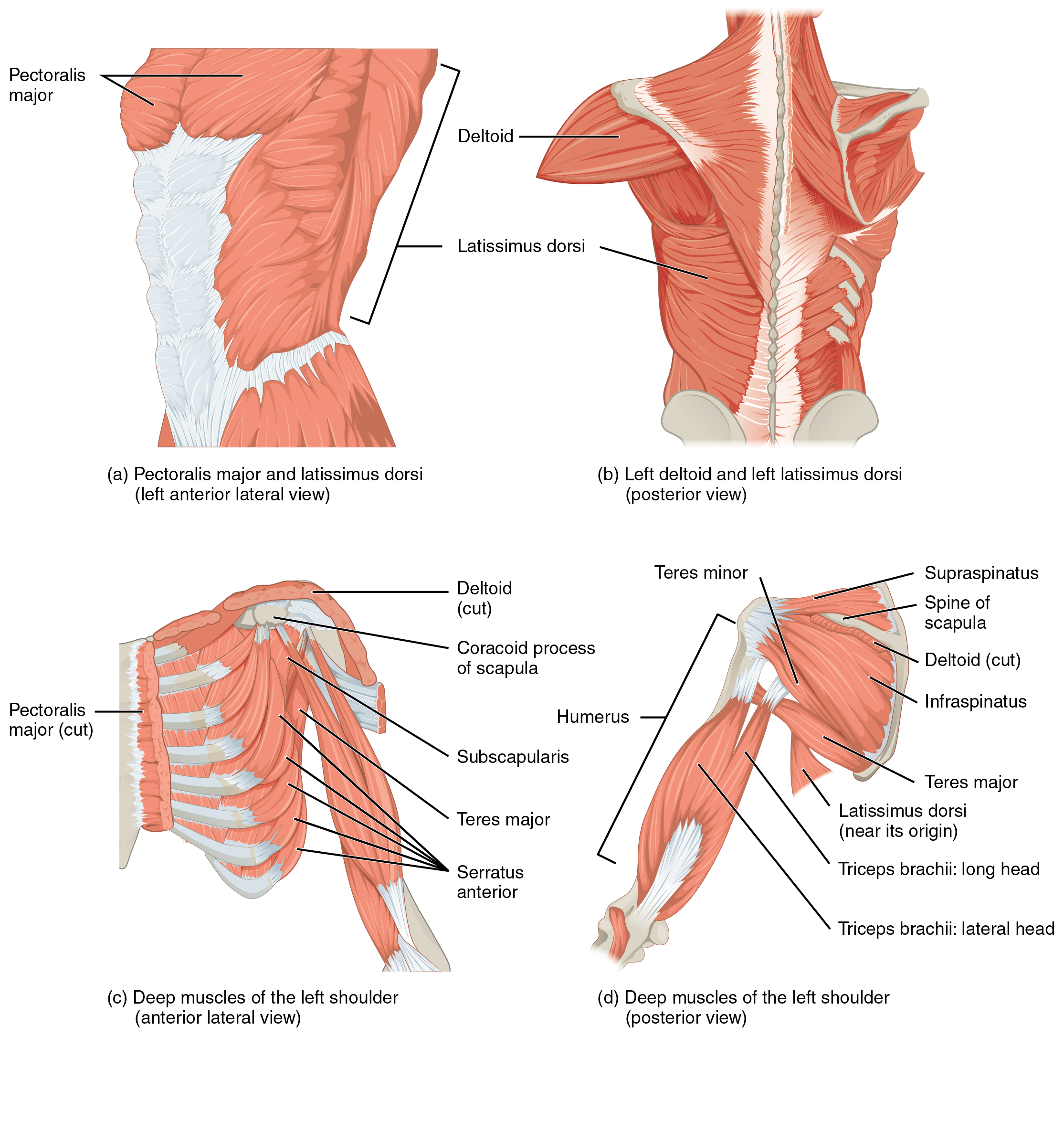 Muscles Of The Pectoral Girdle And Upper Limbs Anatomy And Physiology