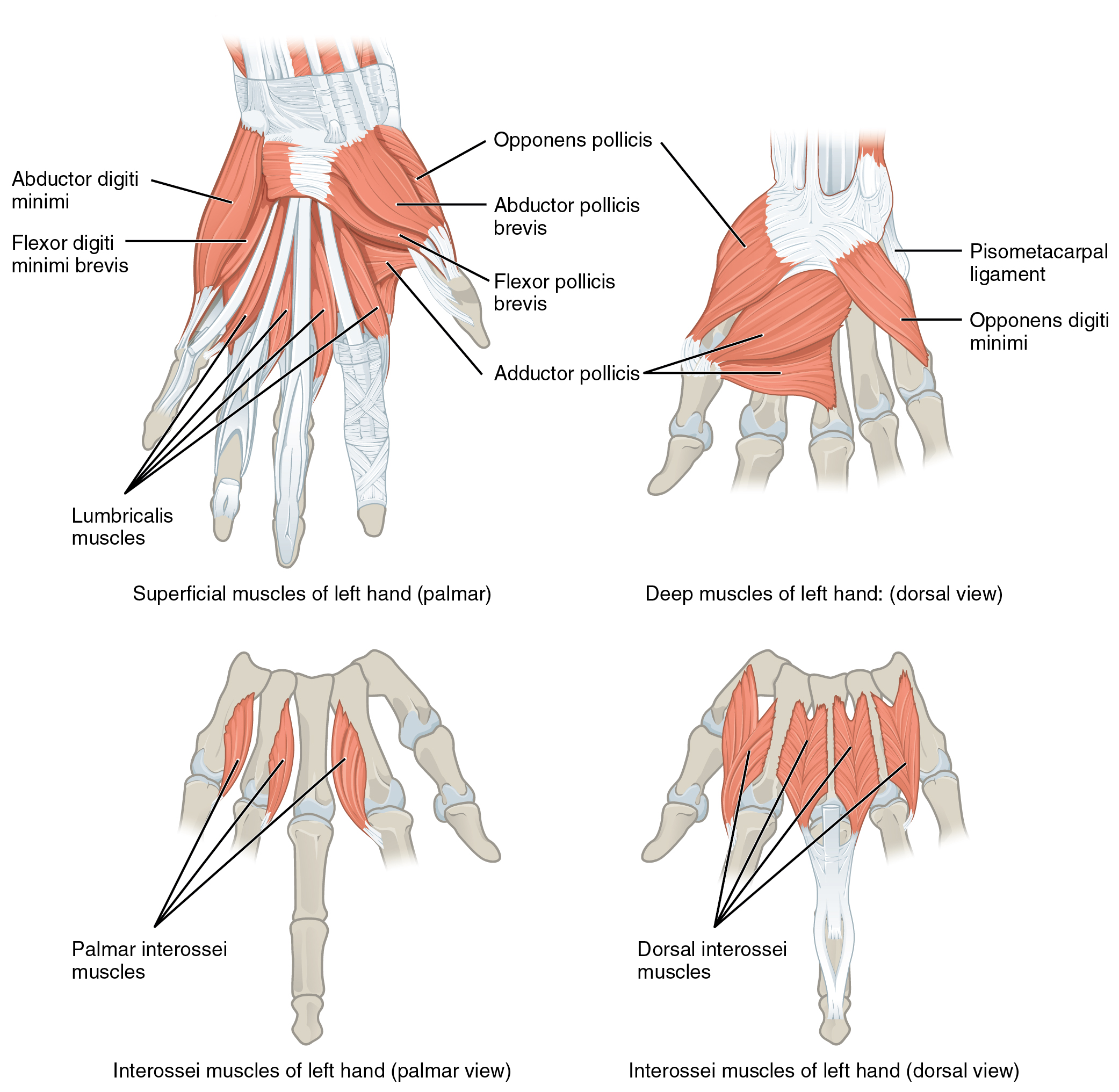 Muscles of the Pectoral Girdle and Upper Limbs · Anatomy and Physiology