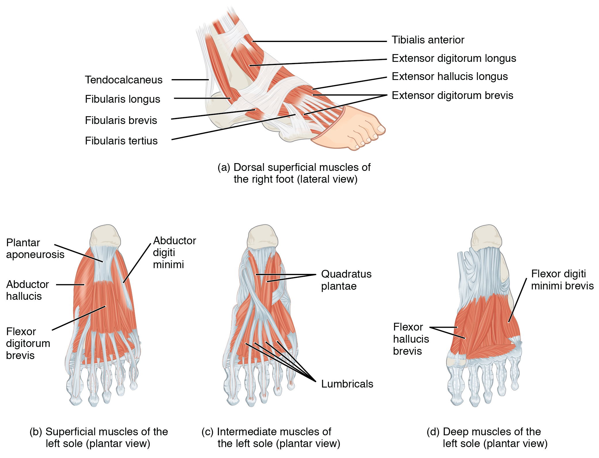 Muskulatur von Unterschenkel und Fuß