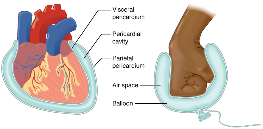 pericardial cavity  The heart sits in the cavity much like a fistPericardial Cavity Diagram