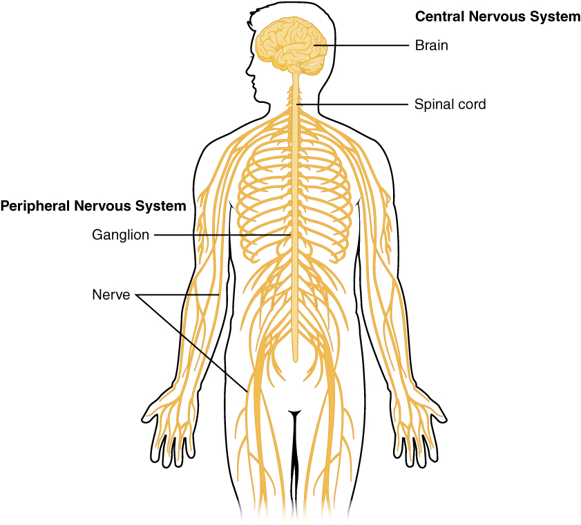 basic structure and function of the nervous system · anatomy and, Cephalic Vein