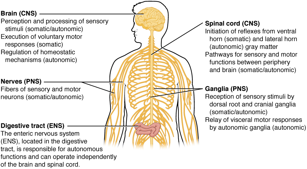 basic structure and function of the nervous system · anatomy and, Human Body