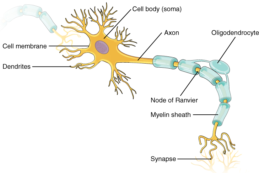 neuron cell body from - photo #15