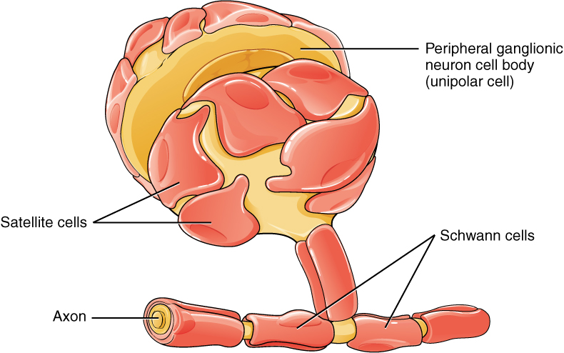Nervous Tissue · Anatomy and Physiology