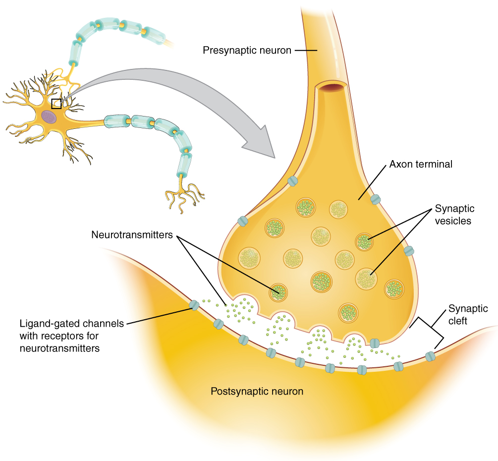 Communication Between Neurons Anatomy And Physiology