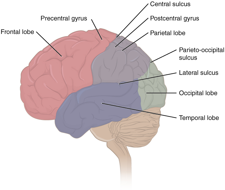 The Central Nervous System · Anatomy and Physiology