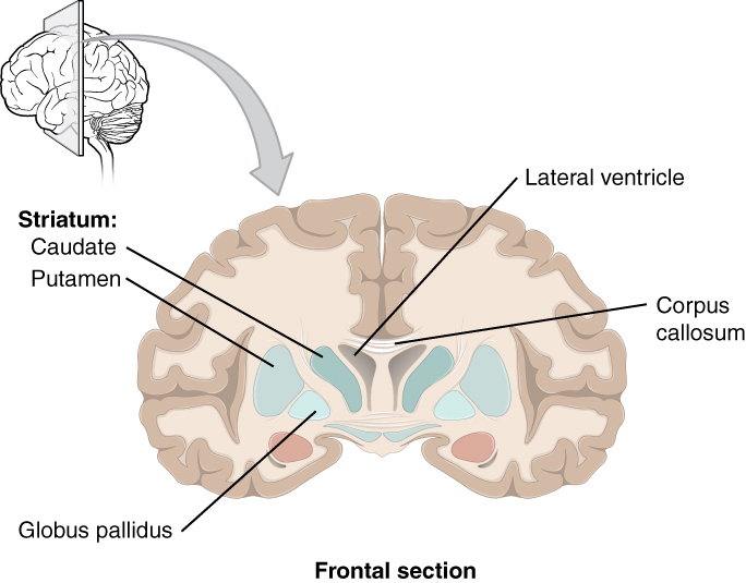 The central nervous system anatomy and physiology this diagram shows the frontal section of the brain and identifies the major components of the ccuart Images