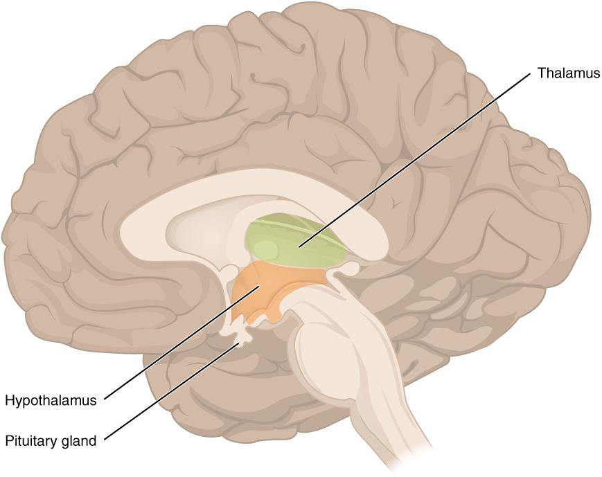 Diencephalon – Anatomie und Funktion des Zwischenhirns