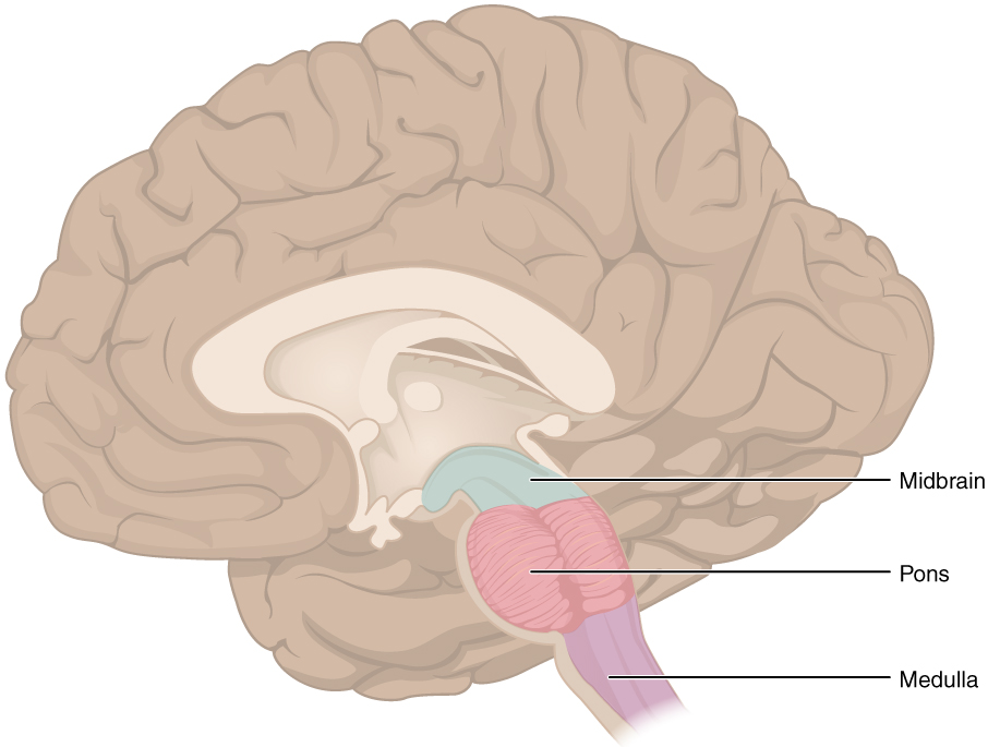 The Central Nervous System Anatomy And Physiology