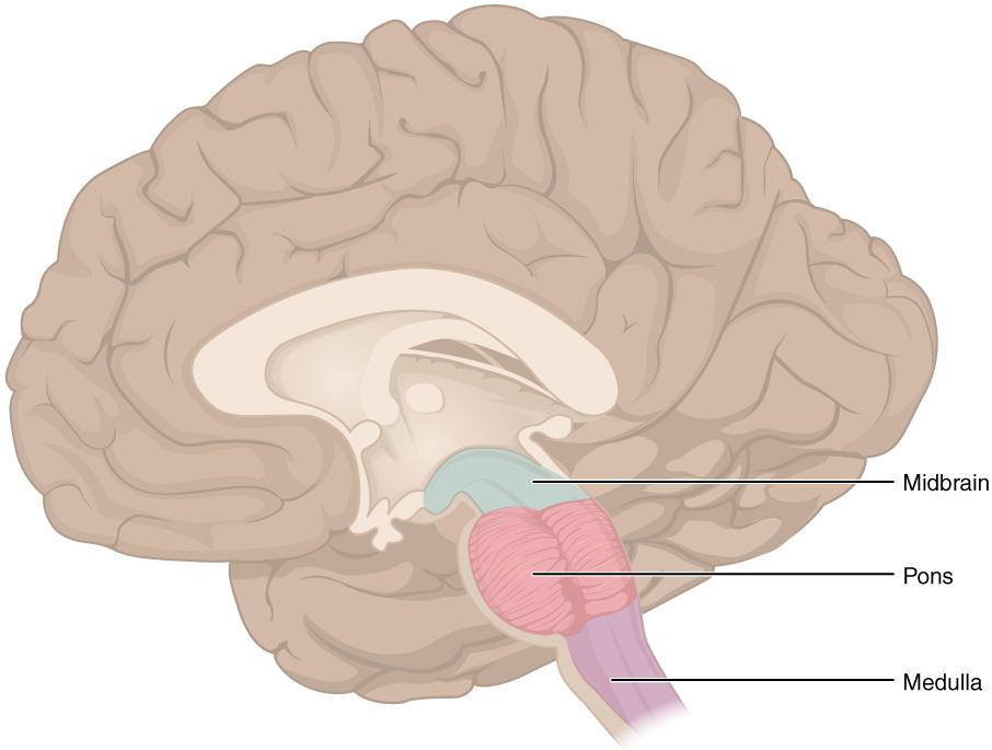 Rhombencephalon – Anatomie und Funktion des Rautenhirns