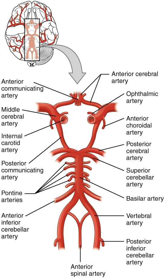 flow chart blood supply of brain: Circulation and the central nervous system anatomy and physiology