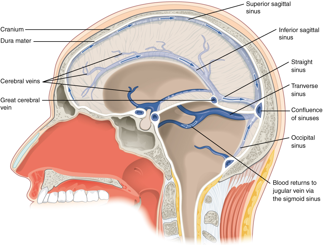 Circulation and the central nervous system anatomy and physiology blood drains from the brain through a series of sinuses that connect to the jugular veins ccuart Images