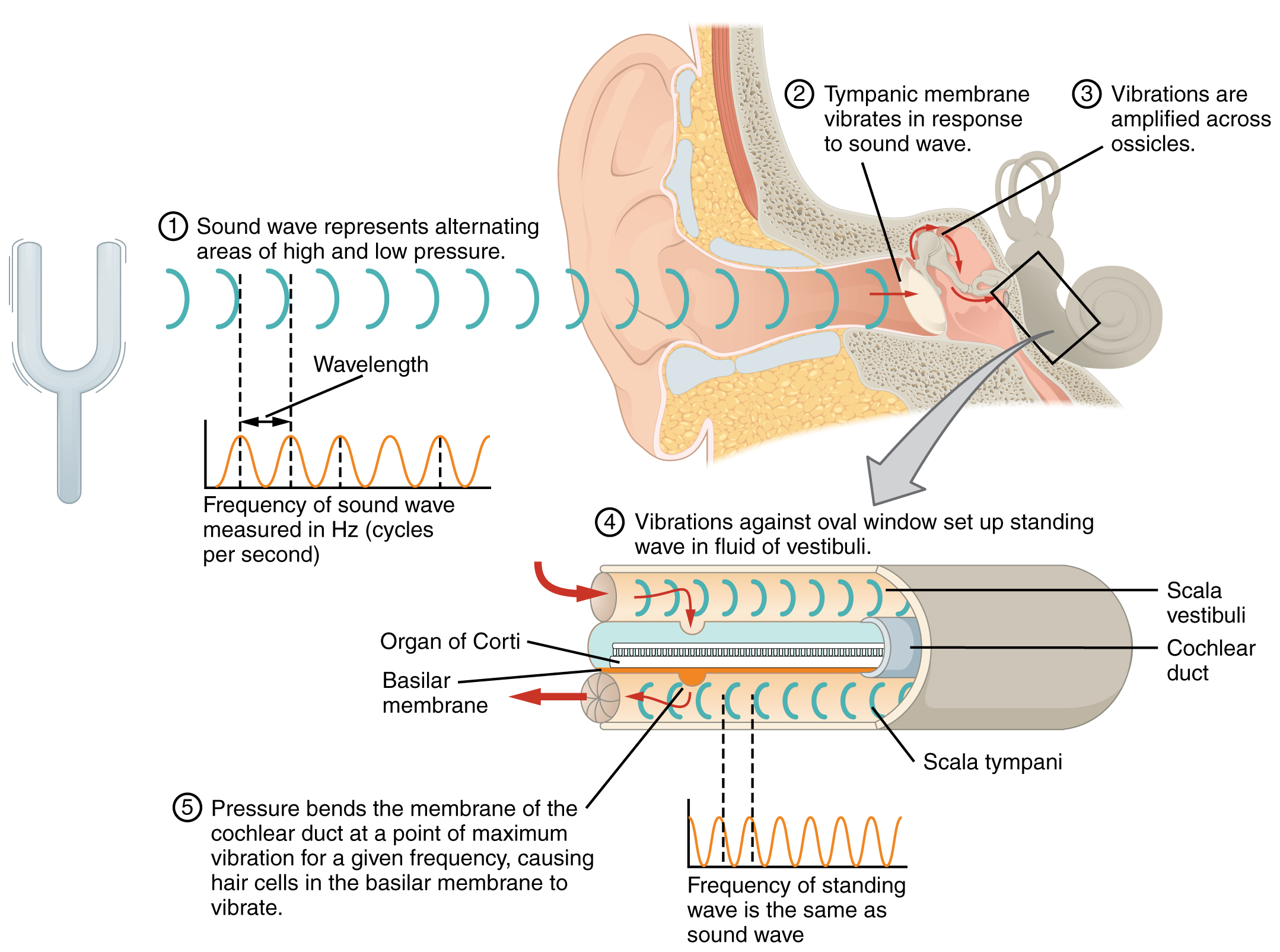 Sensory Perception · Anatomy and Physiology