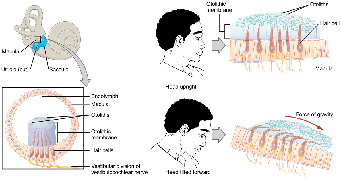 Die Sinnessysteme des menschlichen Körpers