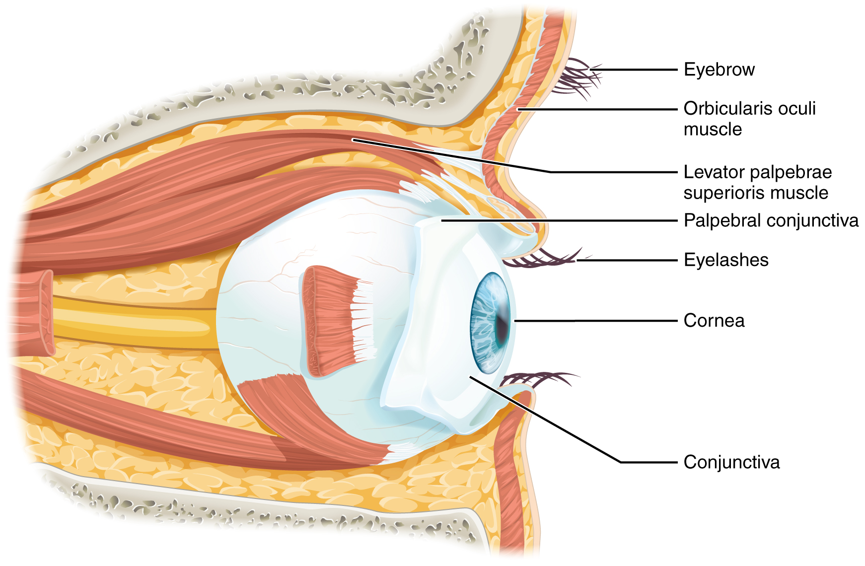 Sensory perception anatomy and physiology the eye is located within the orbit and surrounded by soft tissues that protect and support its function the orbit is surrounded by cranial bones of the ccuart Image collections