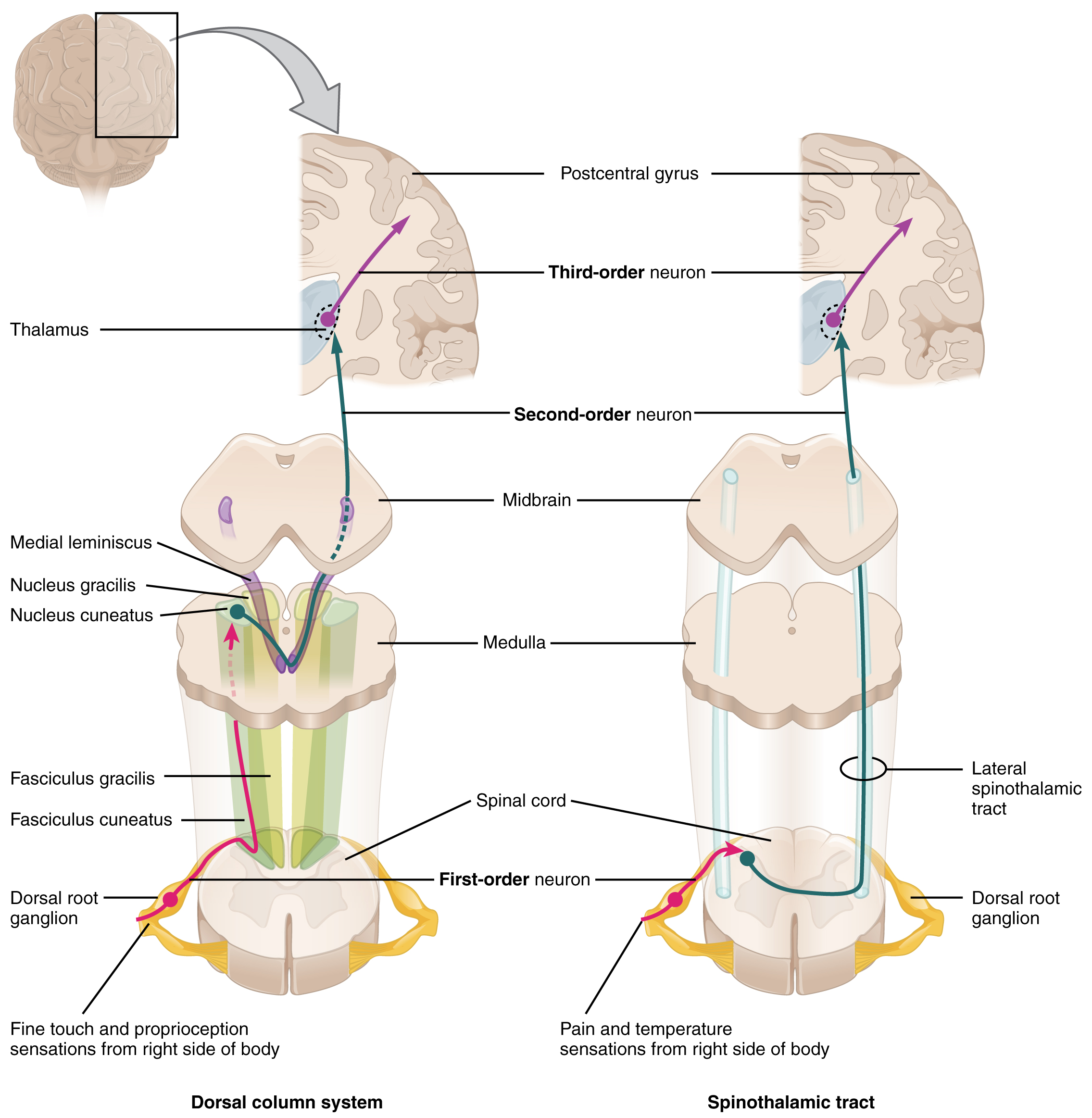 Central Processing · Anatomy and Physiology