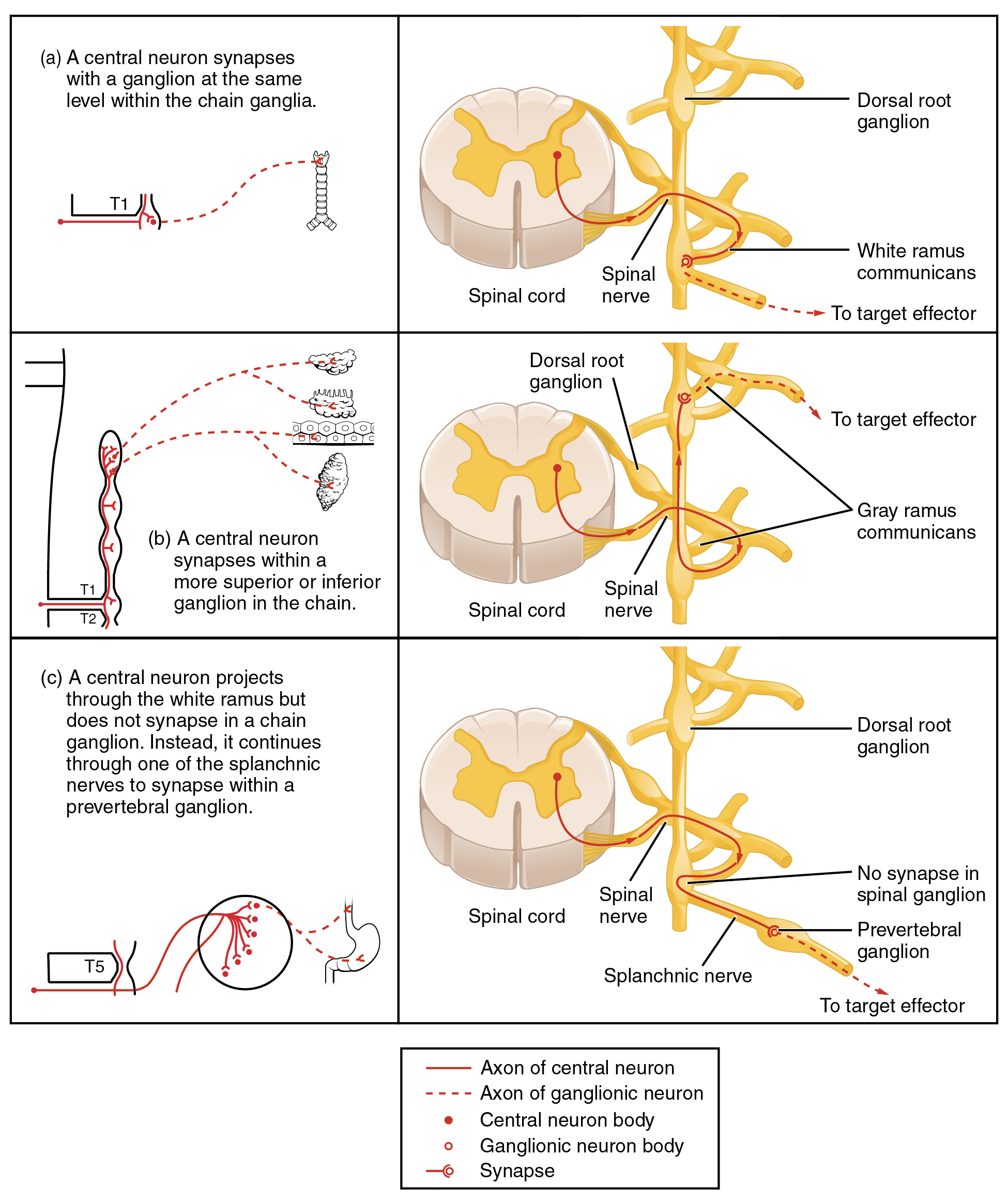 Divisions of the Autonomic Nervous System · Anatomy and Physiology