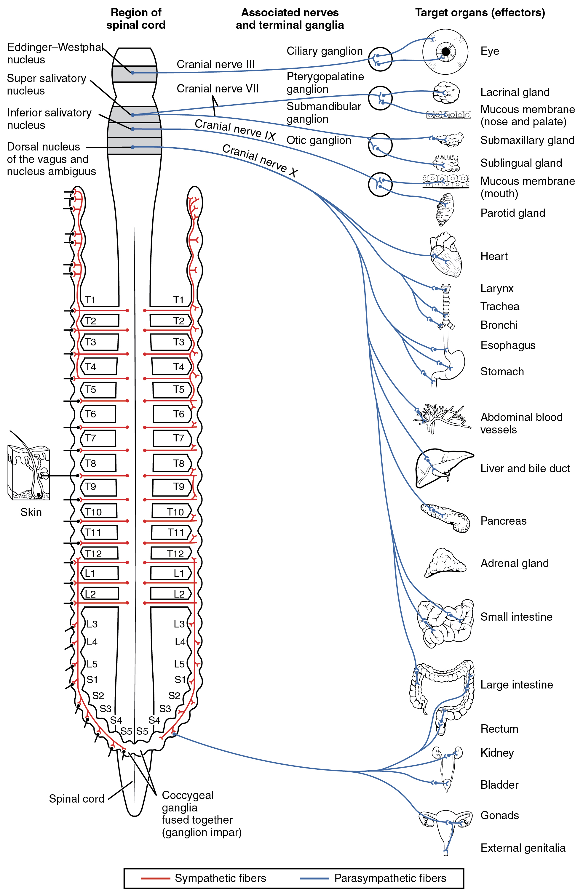 Divisions Of The Autonomic Nervous System 183 Anatomy And