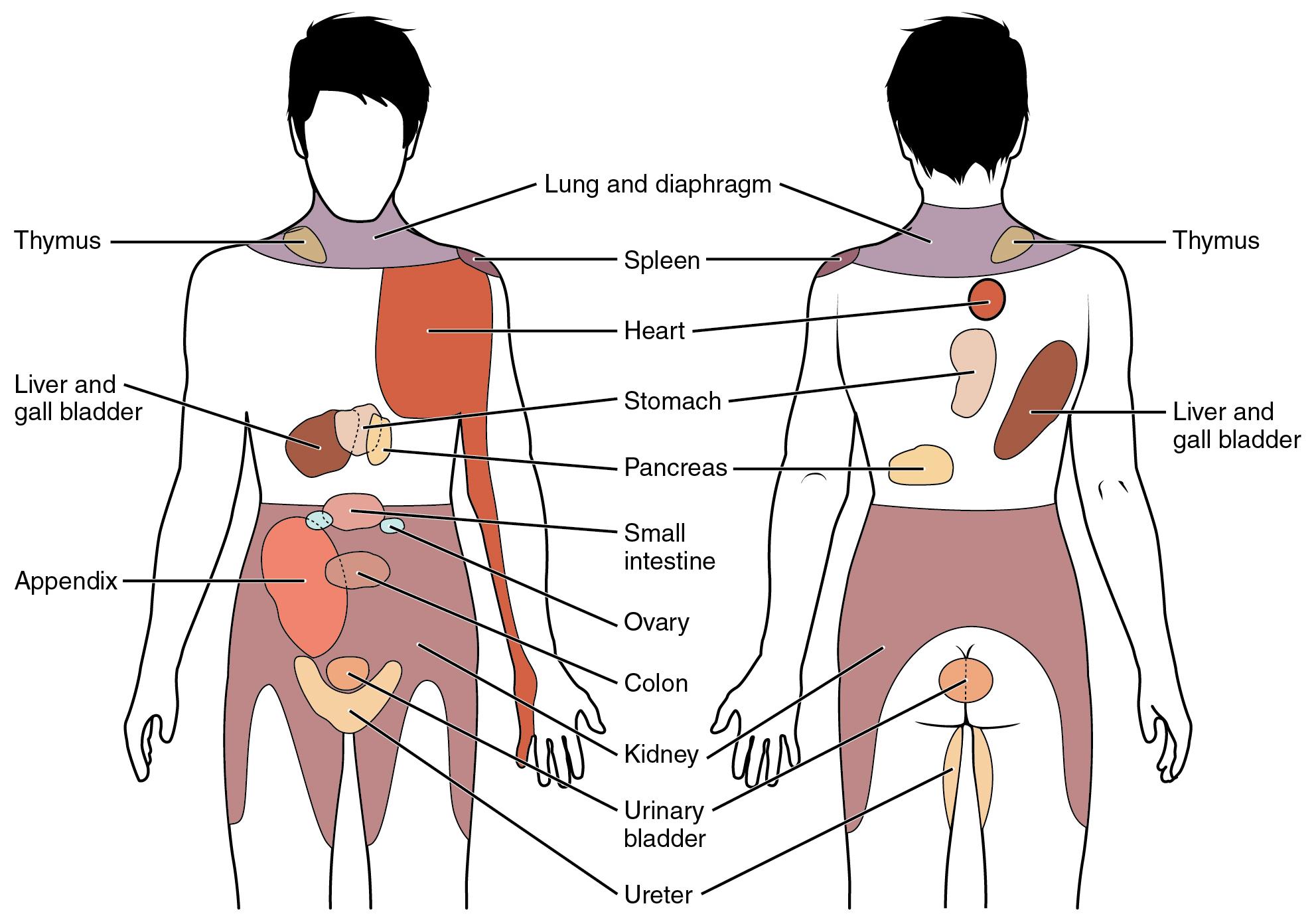 Autonomic Reflexes And Homeostasis Anatomy And Physiology
