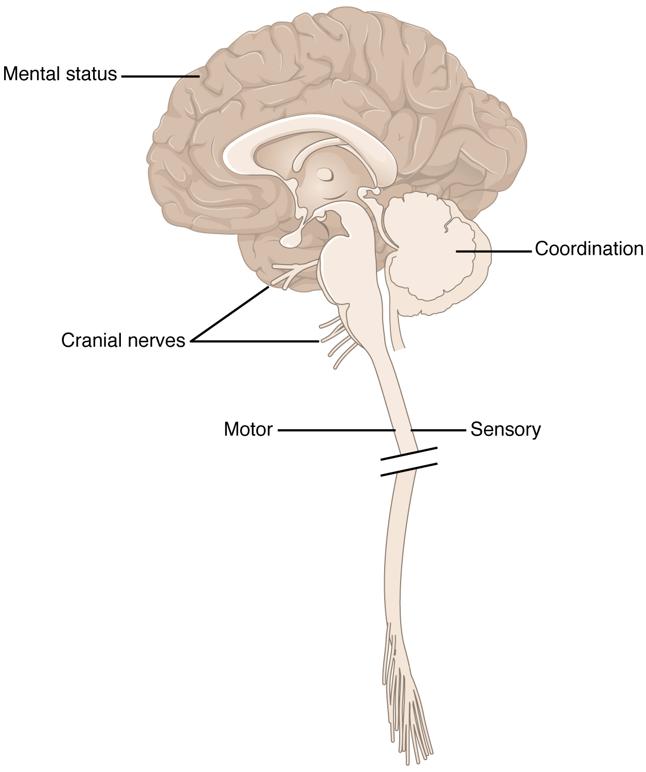 Overview of the Neurological Exam · Anatomy and Physiology
