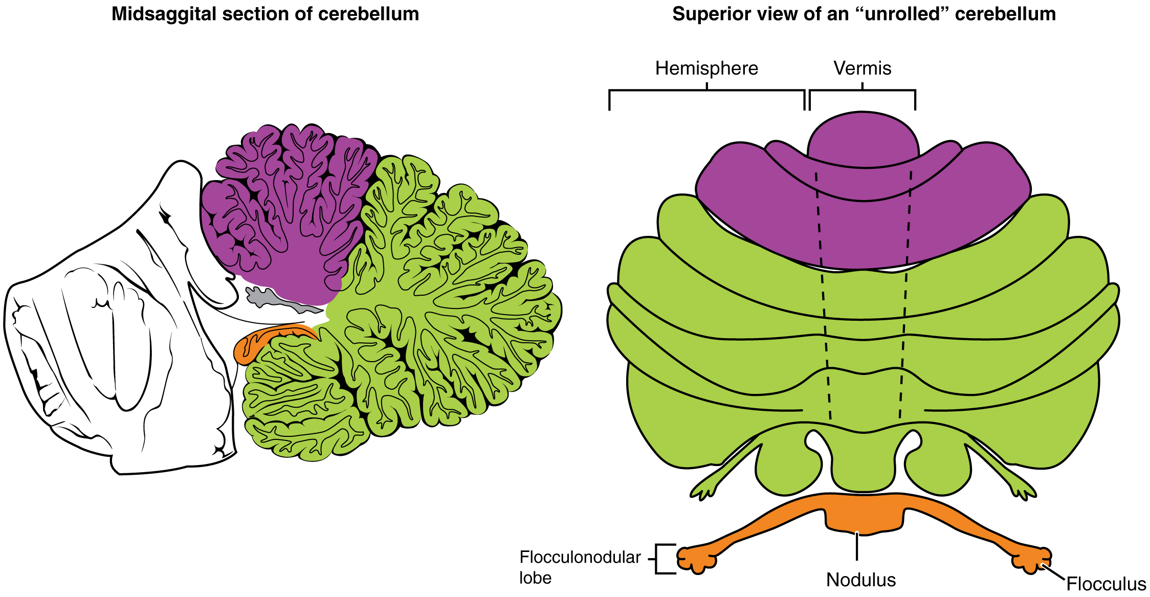 Rhombencephalon – Anatomy and Function of the Hindbrain
